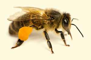 beep pollen